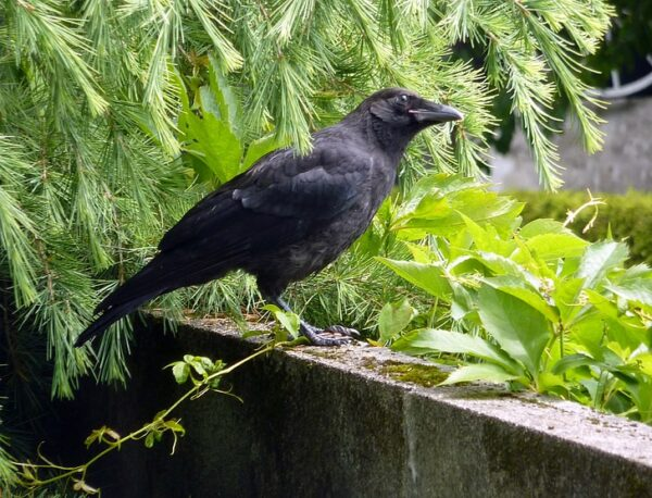 Царь птиц ворон