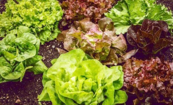 Салат растение